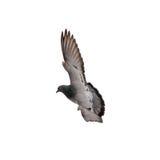Dove в полете стоковое изображение