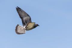 Dove в полете стоковая фотография rf
