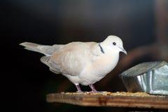 Dove кольца necked Стоковые Изображения