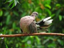 Dove& x27; красота s стоковое изображение