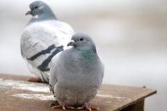 dove одичалый Стоковое фото RF