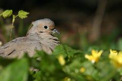 dove оплакивая стоковые фотографии rf