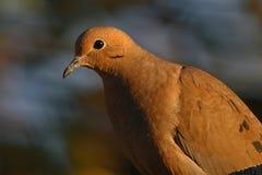 dove оплакивая Стоковые Фото