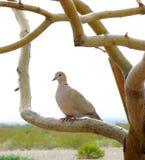 dove оплакивая стоковое изображение rf