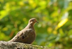 dove оплакивая стоковая фотография rf