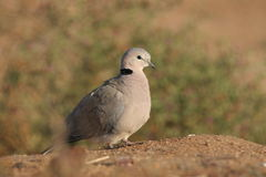 Dove. A dove warming up in sun in the early hours of the morning stock photography