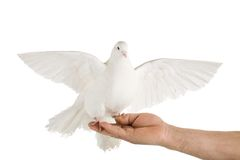 Dove. Photo of a dove on a hand, isolated on white Stock Photos