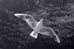 Dove. White dove and dark heaven Royalty Free Stock Images