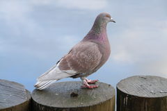 dove стоковые фотографии rf