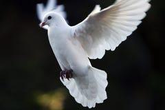 Dove Стоковое Изображение