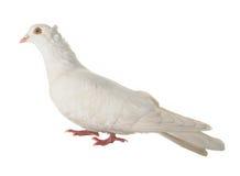 dove стоковая фотография rf