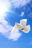 Dove. A free flying dove under the blue sky Stock Photo