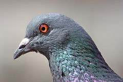 Dove. Head of pigeon (close Stock Photo