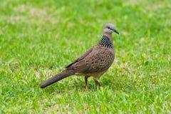 запятнанный dove Стоковое Изображение RF