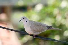 Dove. A dove perched on a wire royalty free stock images