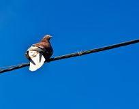 Dove. Royalty Free Stock Image