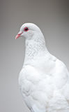 Dove Royalty Free Stock Photography