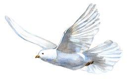 Dove. Beautiful white dove isolated on white royalty free illustration