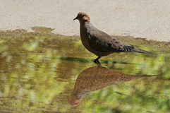 Dove. Gray Dove Standing In Reflected Green Puddle Stock Images