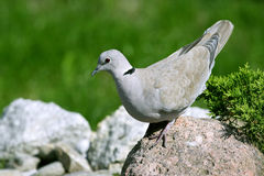 Dove Royalty Free Stock Image