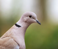 The dove Stock Photography