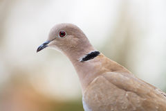 The dove Royalty Free Stock Images