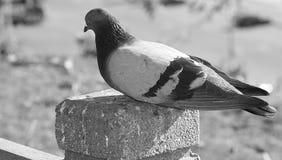 Dove. View of closeup dove Stock Photo