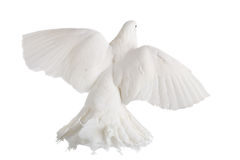 Dove Stock Image