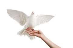 Dove. A photo of a dove on a woman's hand