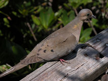 Dove. A dove rests on a rustic railing stock images