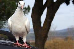 dove Стоковые Изображения RF