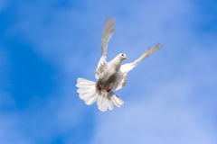 Dove. White dove flying in the Sky Stock Photography