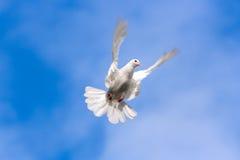 dove стоковая фотография