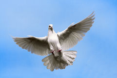 Dove. White dove flying on the Sky Stock Photos