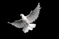 Dove. White dove flying in Sky Stock Images