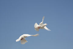 Dove. Two flying white pigeon with a blue sky stock images