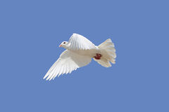 Dove. White dove flying in the sky stock photos