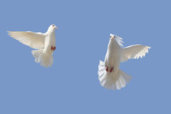 Dove. Two white dove flying in the sky ,cute flight attitude stock images
