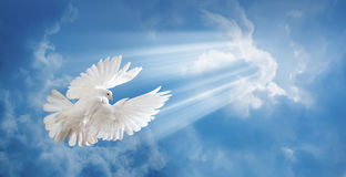 Dove in the air with wings wide open Royalty Free Stock Images