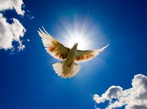 Dove in the air with wings wide open. In-front of the sun Stock Image