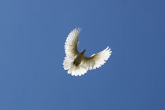 Dove in the air Stock Photography