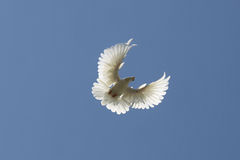 Dove in the air Royalty Free Stock Photo