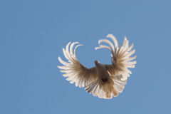 Dove in the air Stock Image
