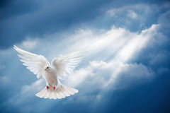 Dove in the air with wings wide open. In-front of the sun Royalty Free Stock Image
