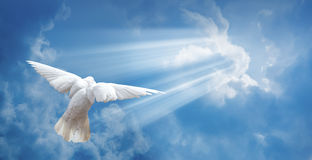 Dove in the air with wings wide open Stock Image