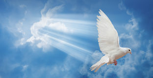 Dove in the air with wings wide open Stock Photo