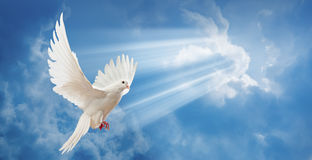 Dove in the air with wings wide open Stock Images