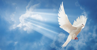 Dove in the air with wings wide open. In-front of the sun Royalty Free Stock Photos