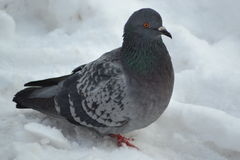Dove. All the birds gather in the winter in Moscow Stock Image