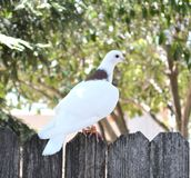The Dove. This Dove appeared on my back yard fence and stayed for the photoshoot, a very beautiful creature with much mystery Royalty Free Stock Photography